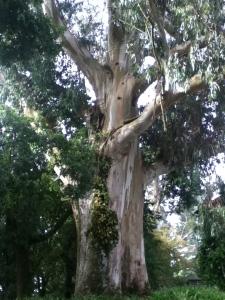 Giant Eucalytpus Tree in the Parque Alameda, Santiago de Compostela, Spain