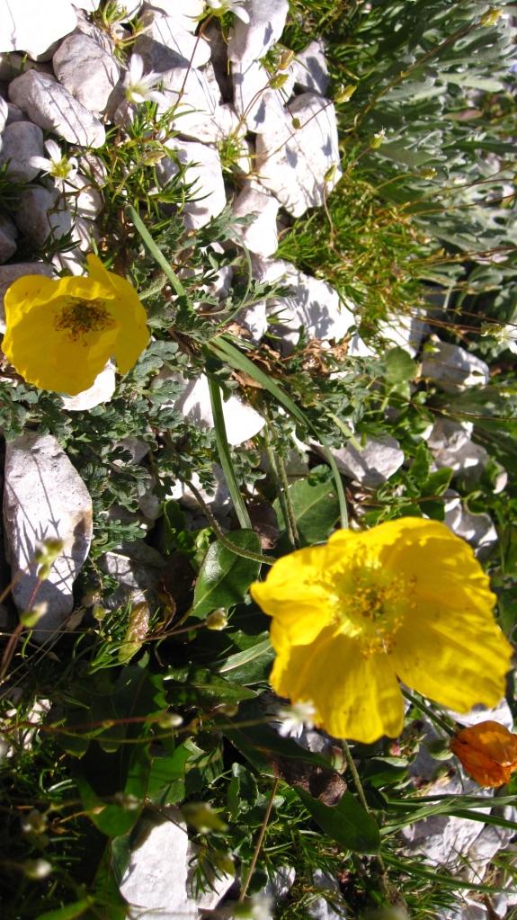 Yellow Poppies, Dolomites, Veneto, Italy