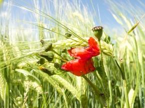 Poppies and Barley_MPHIX